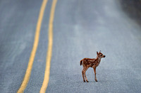 Fawn on the Road